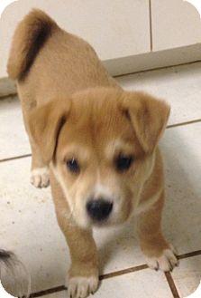 Shepherd (Unknown Type)/Husky Mix Puppy for adoption in Tucson, Arizona - Cassandra