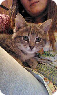 Domestic Shorthair Kitten for adoption in Bentonville, Arkansas - Melon