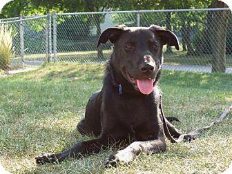 Labrador Retriever Mix Puppy for adoption in Libertyville, Illinois - Max