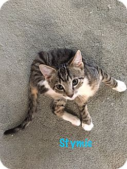 Domestic Shorthair Kitten for adoption in Jackson, New Jersey - Stymie