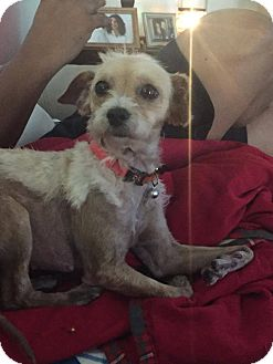 Terrier (Unknown Type, Small)/Chihuahua Mix Dog for adoption in Houston, Texas - Nikki