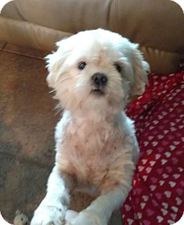 Shih Tzu Dog for adoption in Mary Esther, Florida - Cece