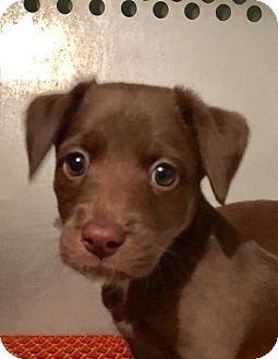 Labrador Retriever/Australian Shepherd Mix Puppy for adoption in Columbia, Tennessee - Rayna