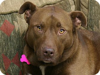 Pit Bull Terrier/Labrador Retriever Mix Dog for adoption in Republic, Washington - Medina