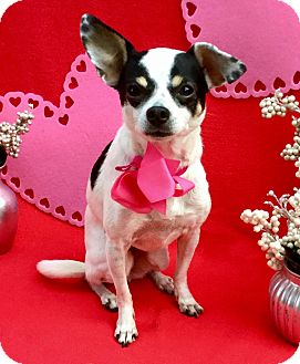 Chihuahua/Rat Terrier Mix Dog for adoption in Irvine, California - Polka Dot