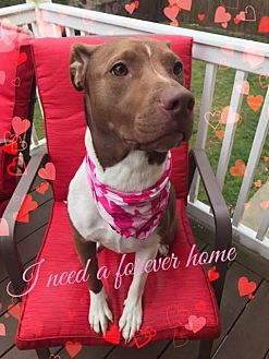 Pit Bull Terrier/Boxer Mix Dog for adoption in Toms River, New Jersey - Dakota