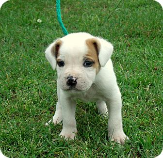 American Bulldog/Boxer Mix Puppy for adoption in PRINCETON, Kentucky - Ash/ADOPTED