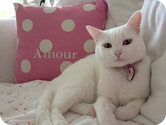 Domestic Shorthair Cat for adoption in Xenia, Ohio - 2 White Cats
