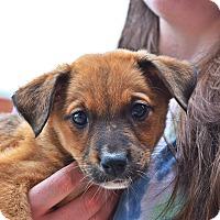 Adopt A Pet :: Dahlia - Manassas, VA