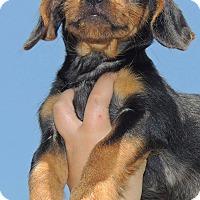 Adopt A Pet :: rambo - Joplin, MO