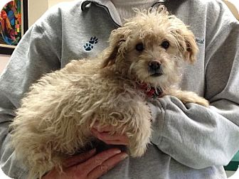 Poodle (Miniature)/Maltese Mix Puppy for adoption in Holland, Michigan - Sheldon