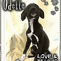 Adopt A Pet :: Odette - Valley Stream, NY