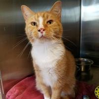 Adopt A Pet :: Tigger - Chambersburg, PA