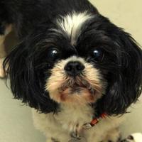 Adopt A Pet :: Brindle - Missoula, MT