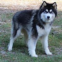 Adopt A Pet :: Kaiya - Daleville, AL
