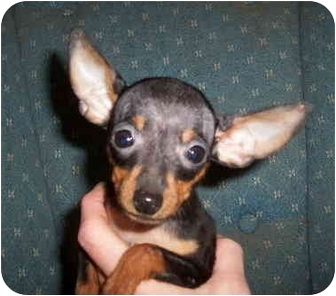 Miniature Pinscher Puppy for adoption in Avon, New York - Zander