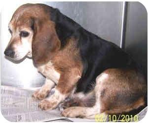 Beagle Dog for adoption in Columbus, Ohio - BISCUIT