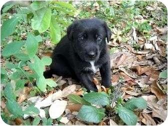 Labrador Retriever Mix Dog for adoption in Weeki Wachee, Florida - Samantha