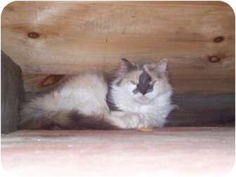 Domestic Mediumhair Cat for adoption in Portland, Maine - Virgina