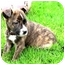 Photo 1 - Boxer/Shepherd (Unknown Type) Mix Puppy for adoption in Vista, California - Coco