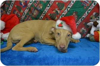 Weimaraner/Labrador Retriever Mix Puppy for adoption in Eden, North Carolina - Atticus