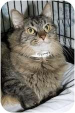 Domestic Longhair Cat for adoption in Palmyra, Virginia - Beauregard
