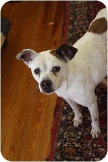Jack Russell Terrier/Rat Terrier Mix Dog for adoption in Huntsville, Alabama - Misty