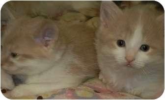 American Shorthair Kitten for adoption in Des Moines, Iowa - Clancey