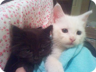 Domestic Mediumhair Kitten for adoption in Harrisburg, North Carolina - Jeepers and Peepers