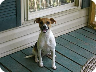 Beagle/Jack Russell Terrier Mix Dog for adoption in Hohenwald, Tennessee - Lola