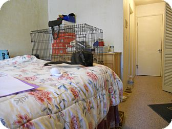 Domestic Longhair Kitten for adoption in Santa Ana, California - Midnight