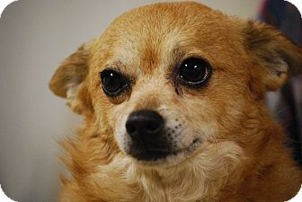 Pomeranian/Chihuahua Mix Dog for adoption in Oakville, Connecticut - Astro