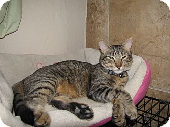 Domestic Shorthair Cat for adoption in Edmond, Oklahoma - Cyclops