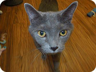 Domestic Shorthair Cat for adoption in Medina, Ohio - Teddy Bear