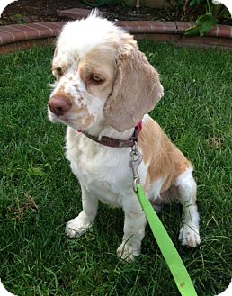 Cocker Spaniel Dog for adoption in Inglewood, California - Missy