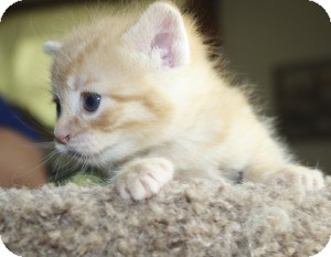 Domestic Shorthair Kitten for adoption in Wayne, New Jersey - Portobello