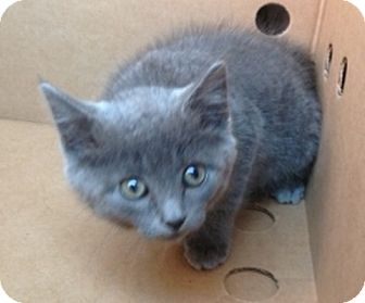 Russian Blue Kitten for adoption in Long Beach, New York - Seraphina
