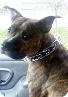 Bulldog/Staffordshire Bull Terrier Mix Dog for adoption in Northumberland, Ontario - Hallie Berry
