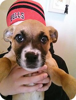 Boxer Mix Puppy for adoption in Hainesville, Illinois - Katie