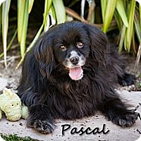 Adopt A Pet :: Pascal - Los Altos, CA