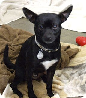 Chihuahua/Terrier (Unknown Type, Small) Mix Dog for adoption in Kalamazoo, Michigan - Mr. Jangles