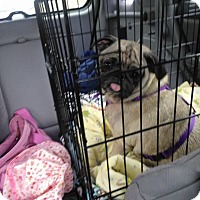 Adopt A Pet :: Mazzy - Huntingdon Valley, PA