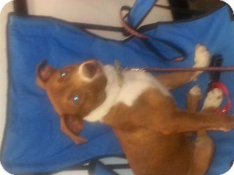 Labrador Retriever/Boxer Mix Dog for adoption in Phoenix, Arizona - Ariat