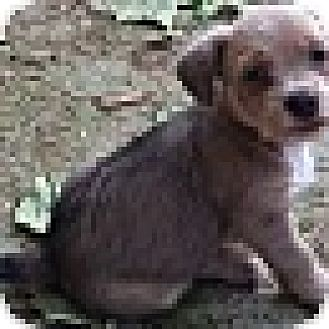 Terrier (Unknown Type, Small) Mix Puppy for adoption in North Brunswick, New Jersey - Sonya
