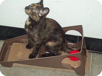 Domestic Mediumhair Kitten for adoption in Green Cove Springs, Florida - Truffles