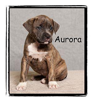 Pit Bull Terrier/Boxer Mix Puppy for adoption in Warren, Pennsylvania - Aurora