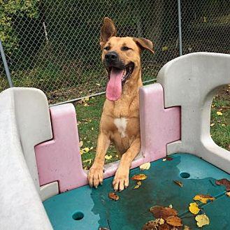 German Shepherd Dog/Coonhound Mix Dog for adoption in Vineland, New Jersey - Rosie