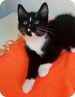 Domestic Shorthair Kitten for adoption in Albion, New York - Riley
