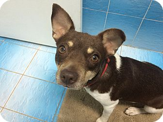 Rat Terrier Mix Dog for adoption in Hialeah, Florida - Sasha