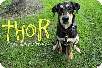 Doberman Pinscher Mix Dog for adoption in Hamilton, Ontario - Thor